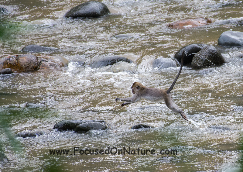 Long-tailed Macaque Crossing
