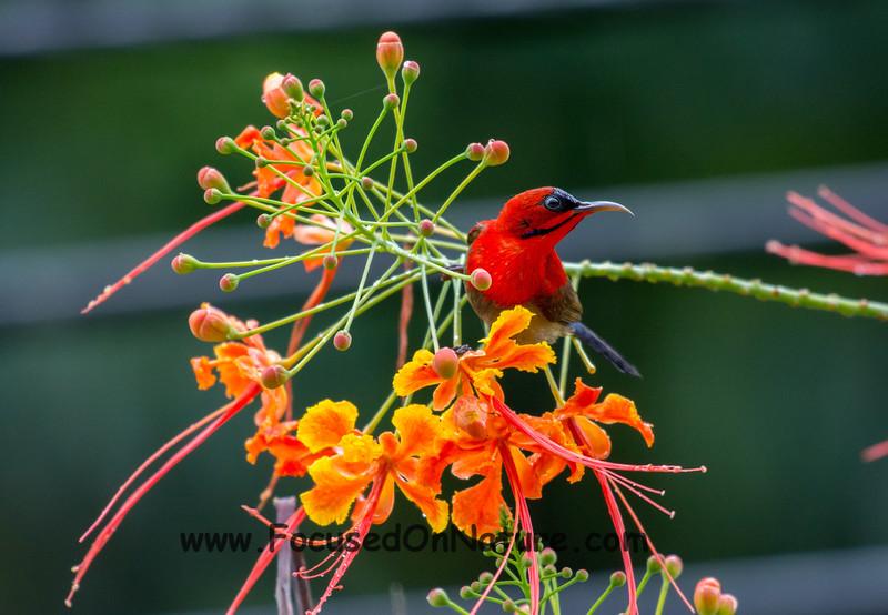 Eastern-Crimson Sunbird