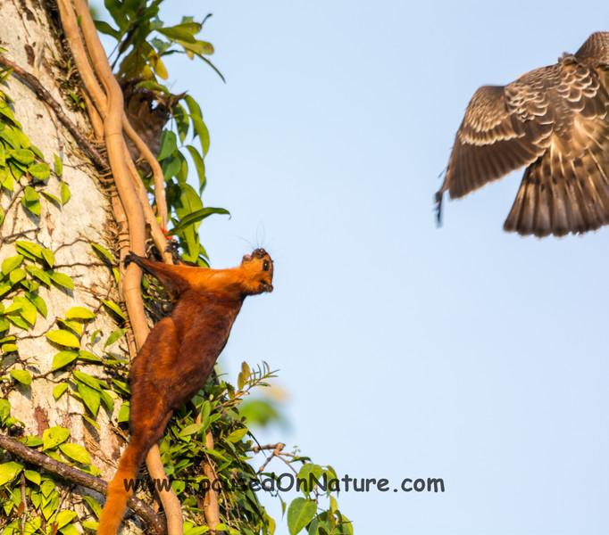 Eagle vs. Squirrel