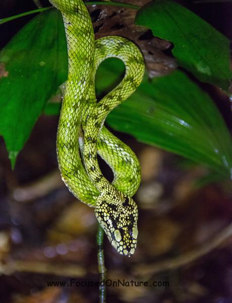 Sumatran Pit Viper