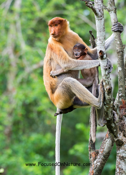 Proboscis Monkey with Baby