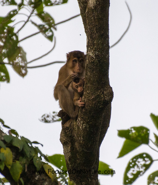 Pig-tailed Macaque Mamma and Baby