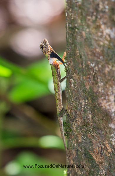 Black-bearded Gliding Lizard