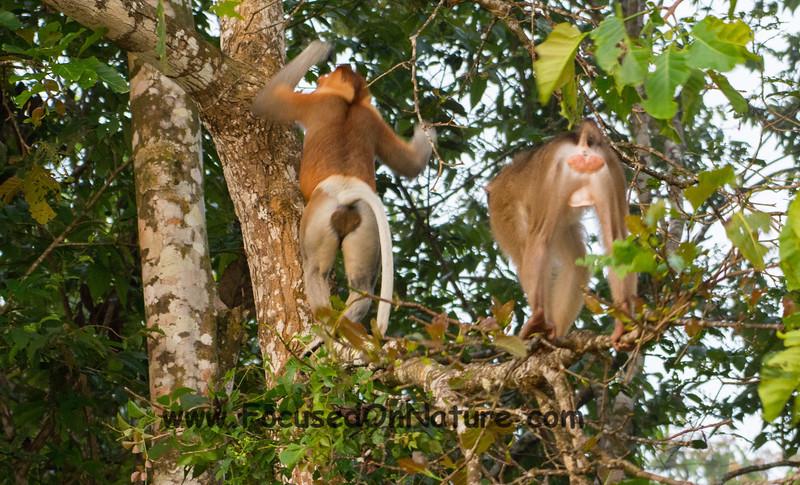 Macaque Alarm!