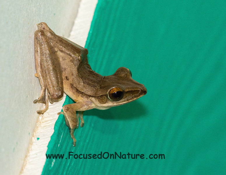 Four-lined (Farting) Tree Frog