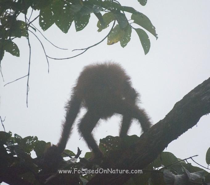 Headless Orangutan!