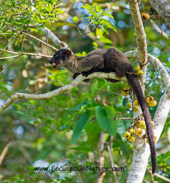 Striped Palm Civet