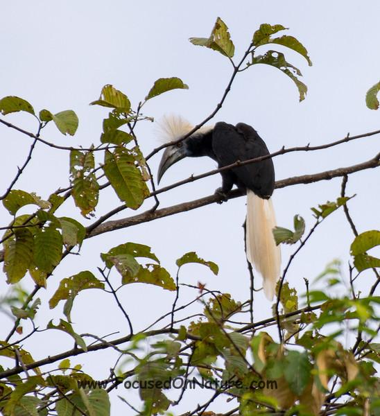 The Rare White-crowned Hornbill