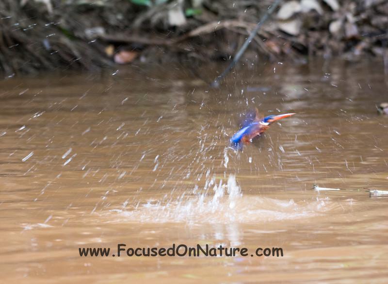 Blue-eared Kingfisher...fishing