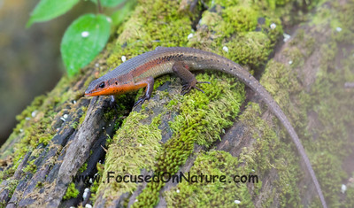 Many-lined Sun Skink