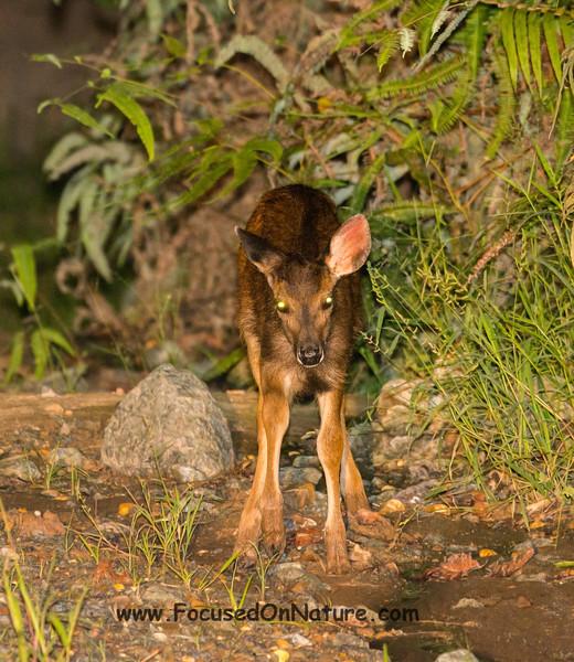 Baby Sambar Deer