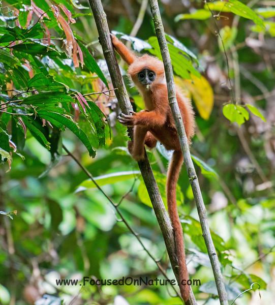 Baby Red Langur