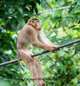 Balancing Macaque
