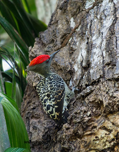 Grey and Buff Woodpecker