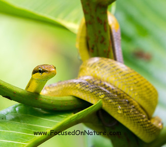 Red-tailed Racer