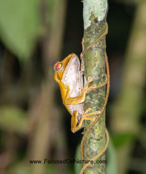 Tarsier Mimicking File-eared Frog