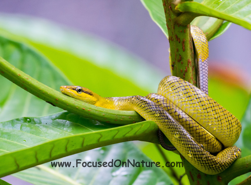 Red-tailed Racer (with Gray tail)