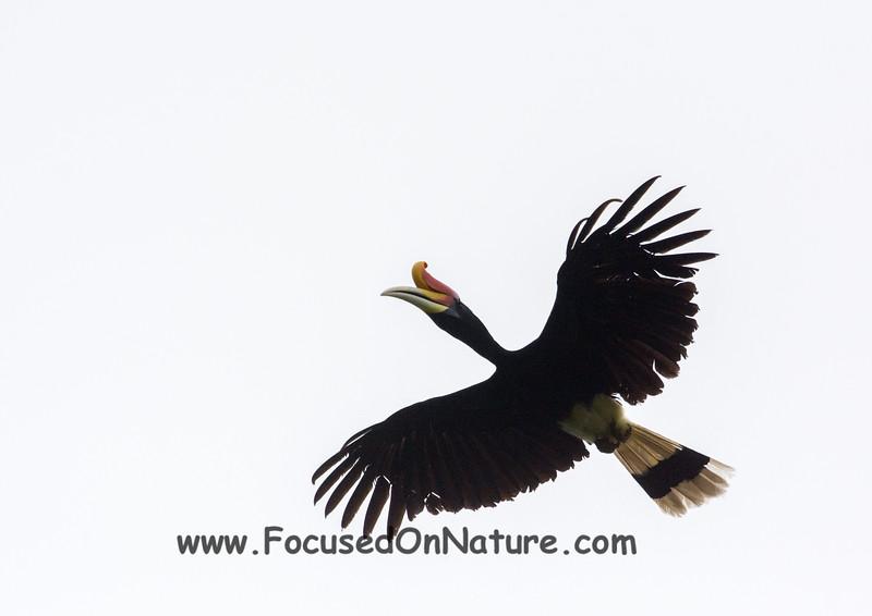 Rhinoceros Hornbill Flying