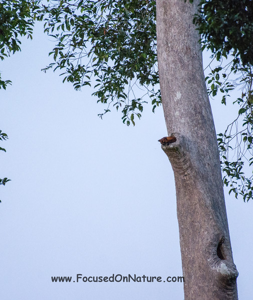 Red Giant Flying Squirrel
