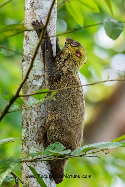 Another Daytime Colugo