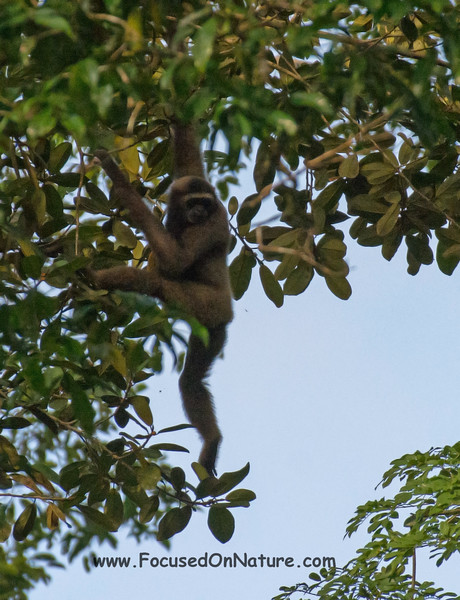 Can you See the Gibbon?