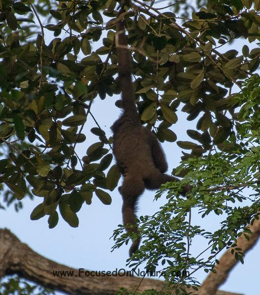Gibbon Booty