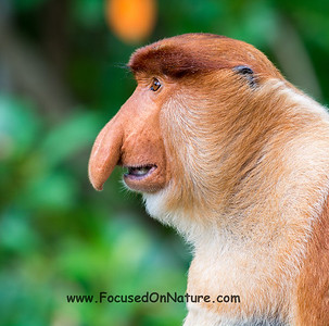 Male Proboscis Monkey Profile