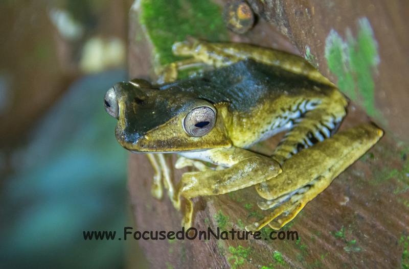 File-eared Frog