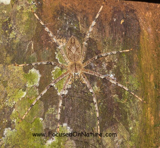 Hand Sized Huntsman Spider