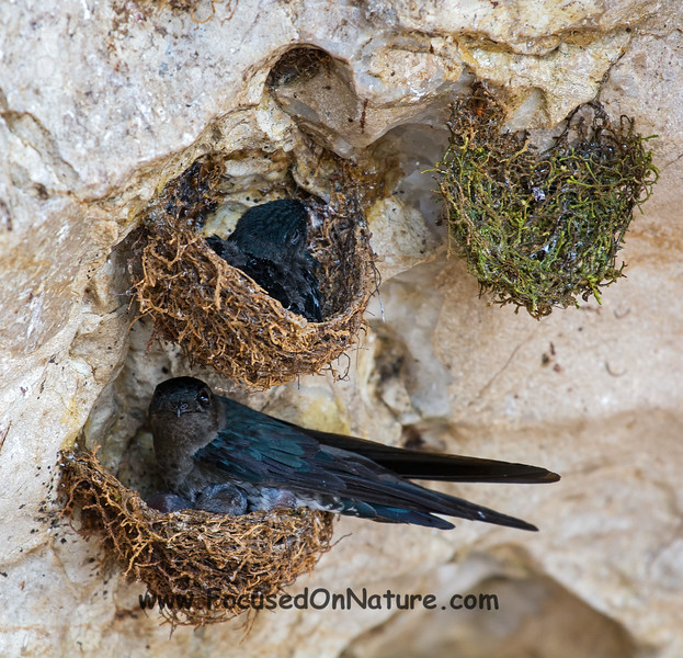 Glossy Swiftlets and Nests