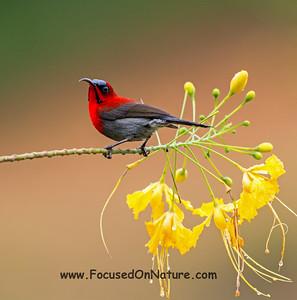 Eastern Crimson Sunbird