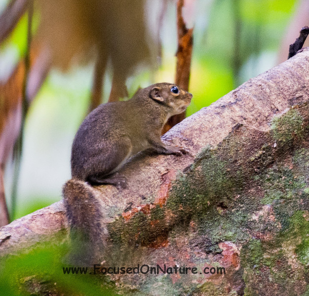 Low's Squirrel