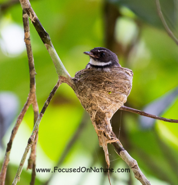 Pied Fantail on Nest