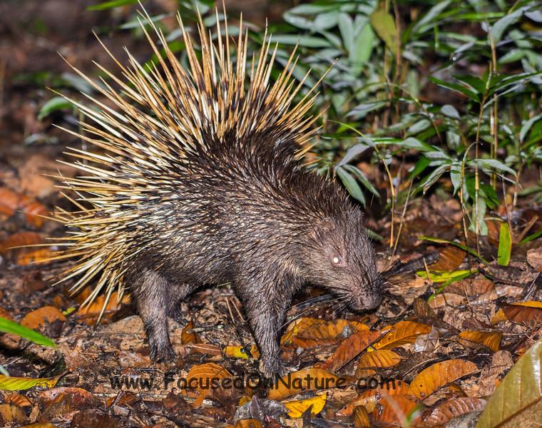 Malay Porcupine