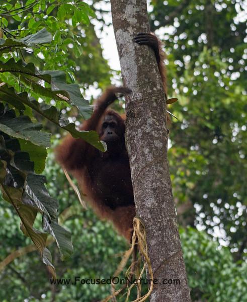 Orangutan Fast Climbing