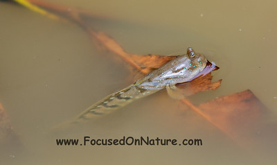 Blue-spotted Mudskipper
