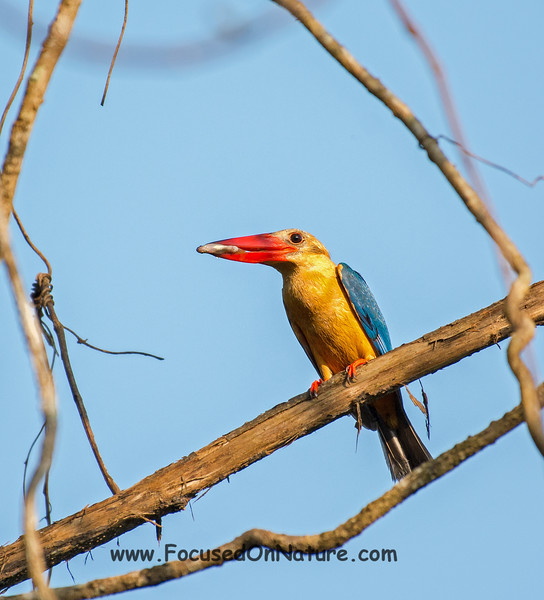 Stork-billed Kingfisher with Fish