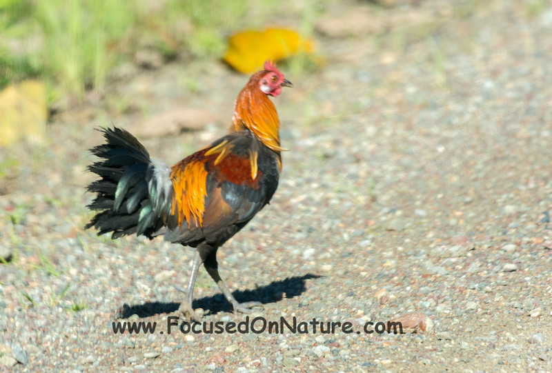 Jungle Fowl Through the Windshield