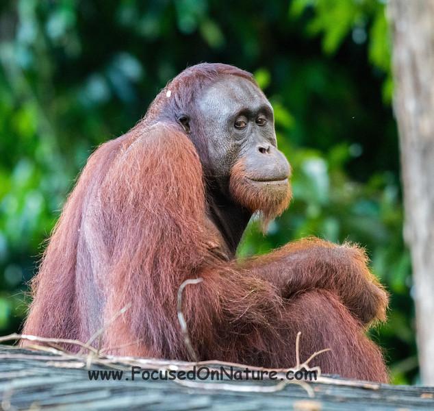 Orangutan Glance