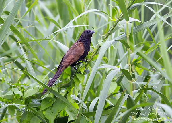 Lesser Coucal ( Centropus bengalensis ) Ssp javanensis Lower Kinabatangan River Borneo June 2014 BO-LECO-01