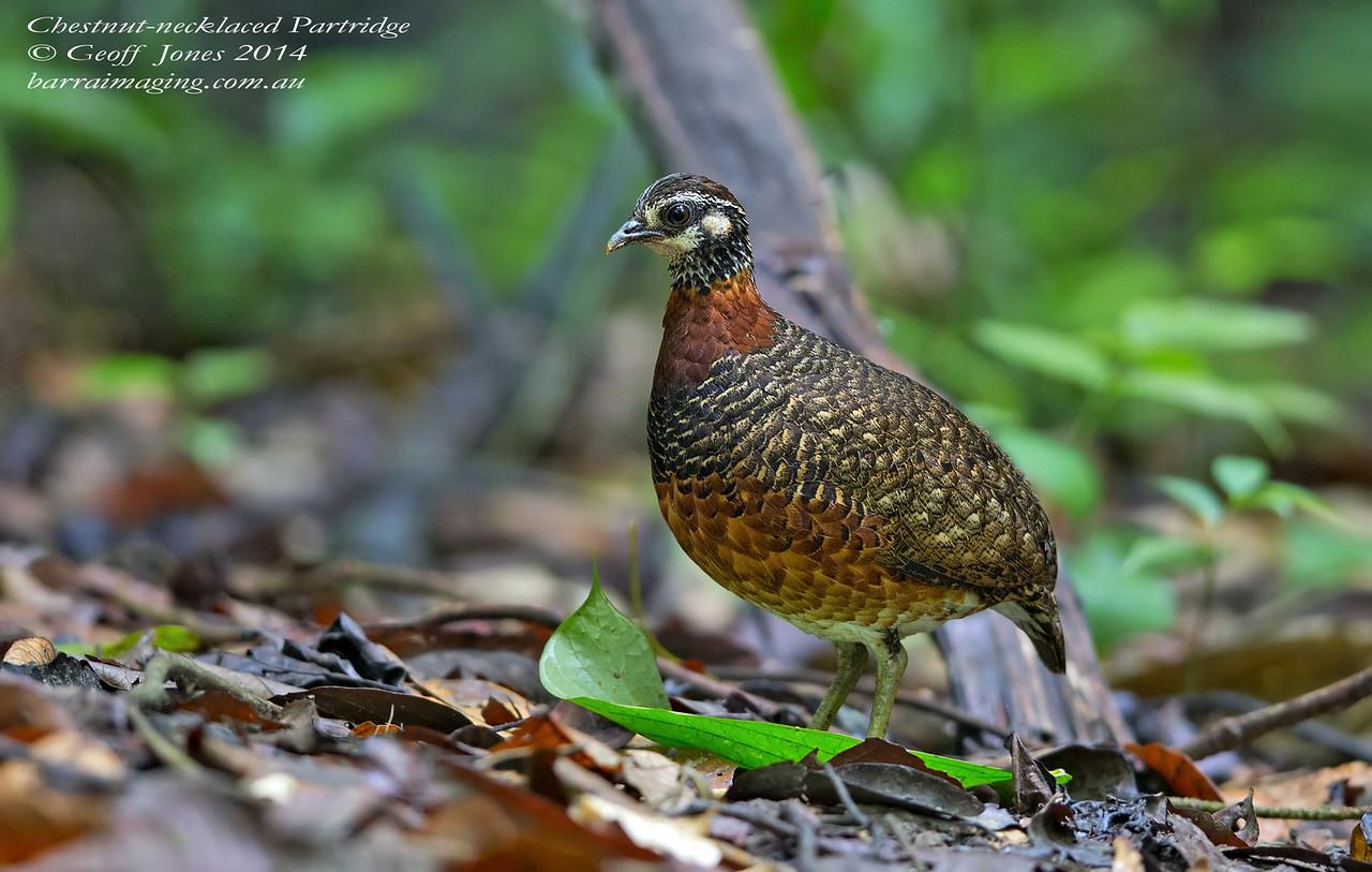 Chestnut-necklaced Partridge