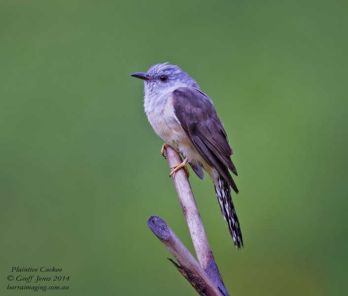 Plaintive Cuckoo ( Cacomantis merulinus ) Ssp threnodes Danum Valley Borneo June 2014 BO-PLCU-01