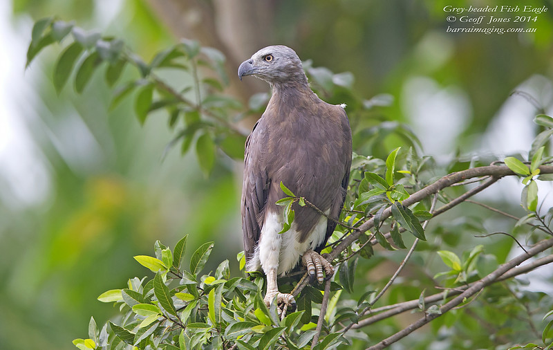 Grey-headed Fish Eagle ( Haliaeetus ichthyaetus ) Lower Kinabatangan River Borneo June 2014 BO-GHFE-01