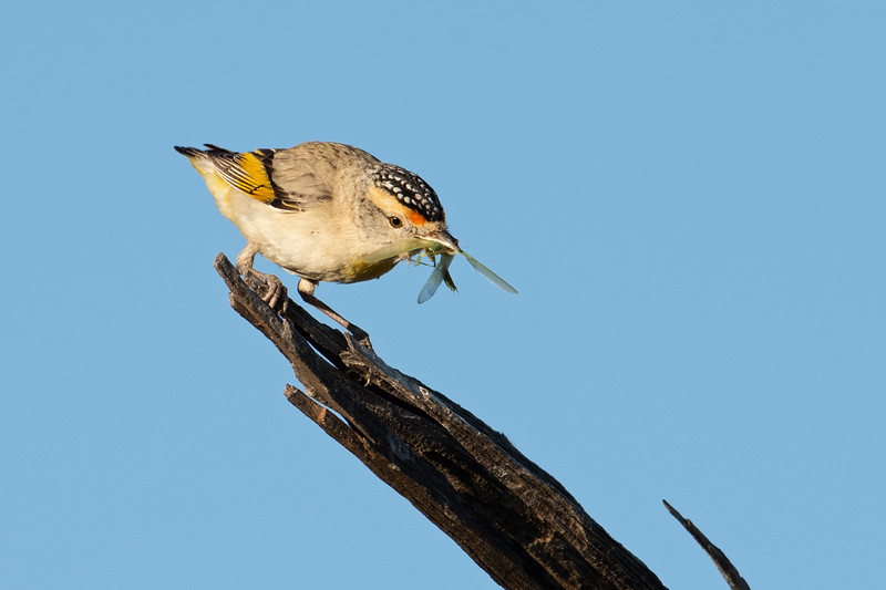 Red-browed pardalote (Pardalotus rubricatus)