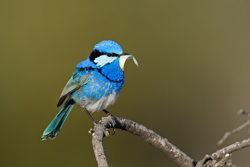 Male Splendid Fairy-wren (Malurus splendens ssp. emmettorum)