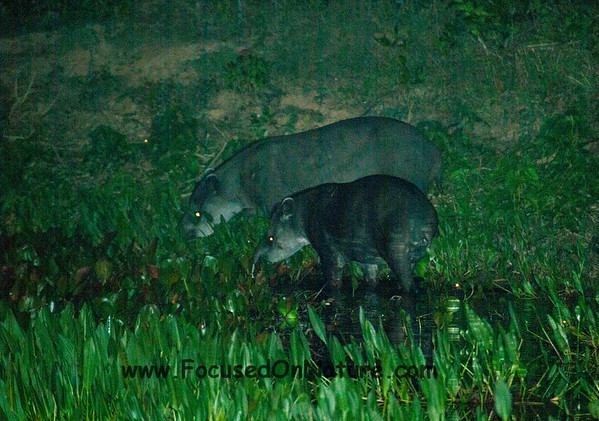 Tapirs at Night