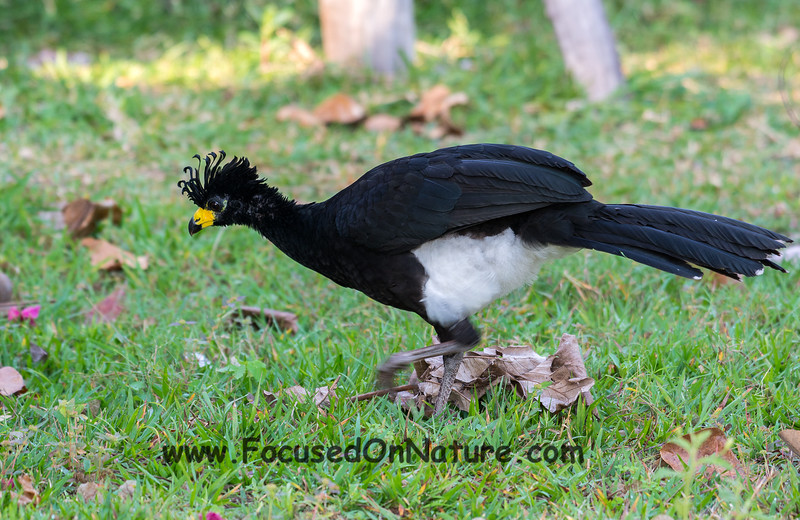 Male Bare-faced Curassow