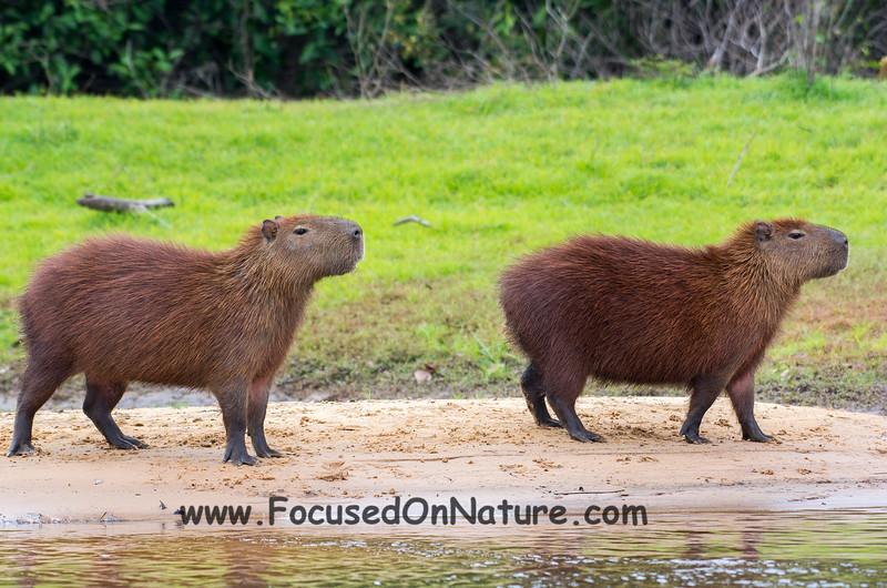 Capybara on Alert