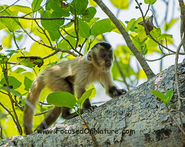 Juvenile Brown Capuchin Monkey