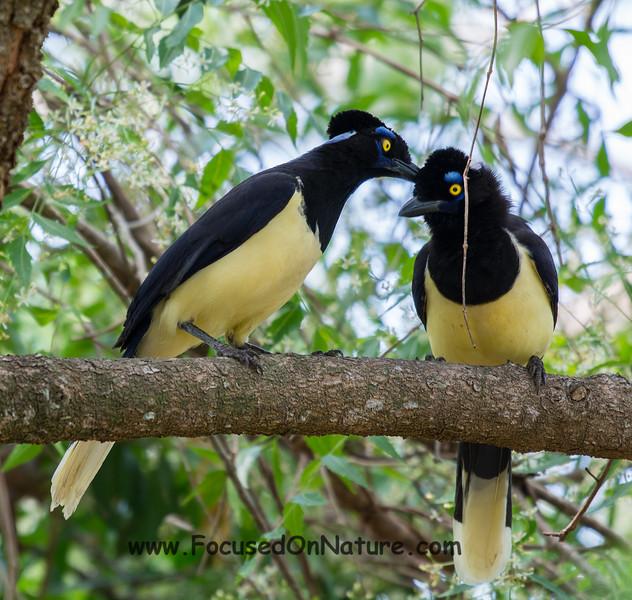 Plush-crested Jays